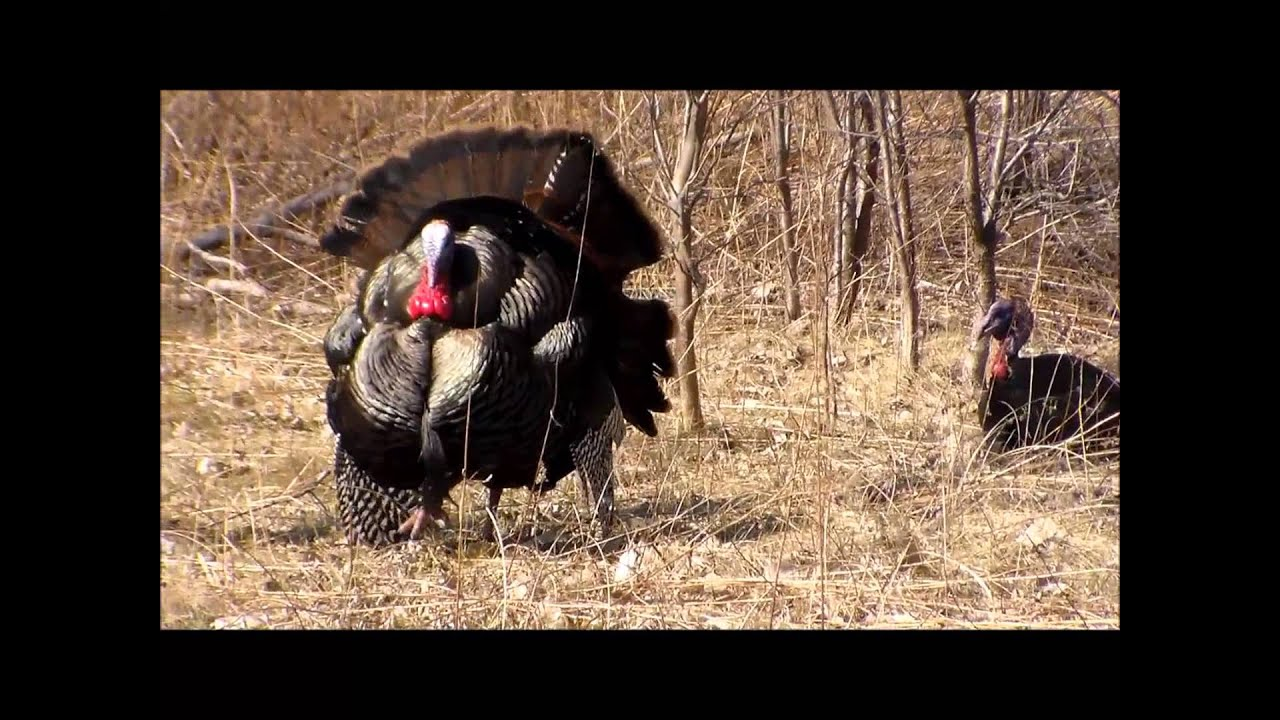 Wild turkey mating ritual: male puffs up over and over - YouTube