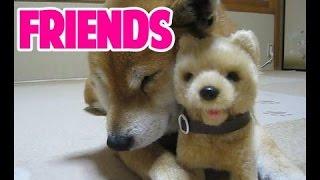 LINEスタンプ:http://line.me/S/sticker/1289252 おもちゃの柴犬を威嚇...