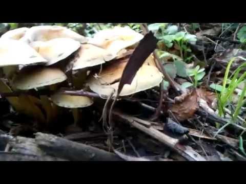 Тиха охота 2015. Опеньки та інші їстівні і неїстівні гриби.
