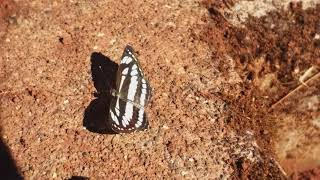 Part 1 The most beautiful zebra stripped butterfly modelling for a photo shoot.