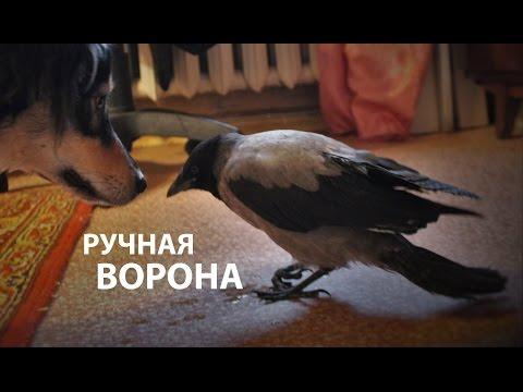 кошки вороны видео -