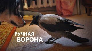 Ручная ворона Капля