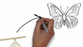 Life cycle of a butterfly whiteboard animation