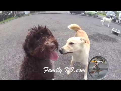 Portuguese Water Dog Training FamilyK9.com - Mtl Dog Trainer