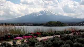 富士山ろくはソメイヨシノが花を落としていた、かわりに富士山固有種富...