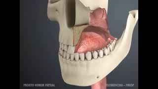 Anatomia de articulação S - Fonovim Fonoaudiologia