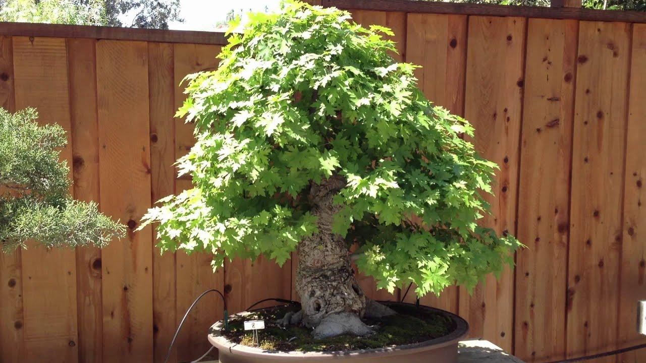 Liquidambar Bonsai Tree Youtube