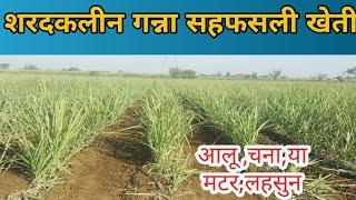 शरदकालीन गन्ने के साथ आलू और चने की खेती।Potato and gram cultivation with autumn sugarcane.