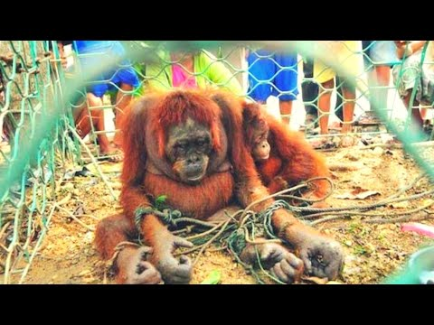 How People Welcomed This Poor Orangutan Mother Will Bring Tears To Your Eyes