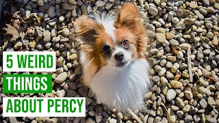 5 Weird Things My Dog Does // Percy the Papillon Dog