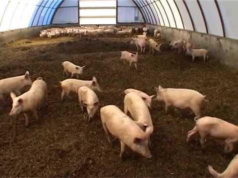 Свиноводство. Выращивание свиней