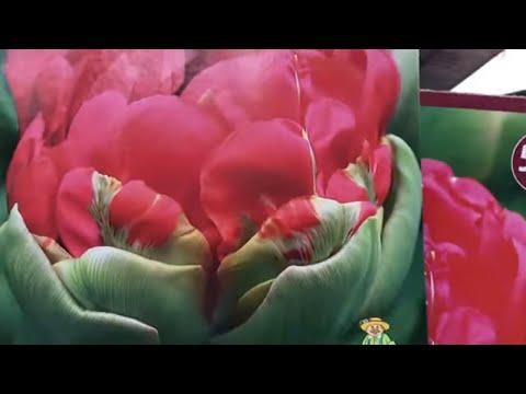 Тюльпаны в Ашане. Луковичные Осень 2020.