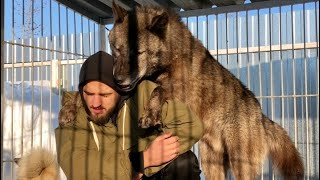 Поцелуй Волка, самый большой волк в мире целуется,