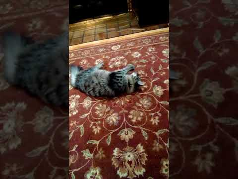 Our Siberian cat playing, cat toys in action!