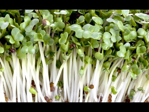 Growing Broccoli Sprouts Vertically