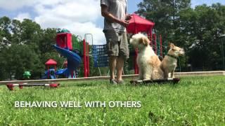 Tibetan Terrier Puppy Learning Obedience In Public!!!
