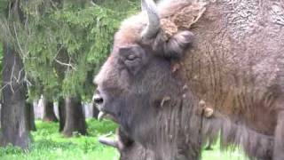 Polskie Zubry - Polish Bisons (HD)