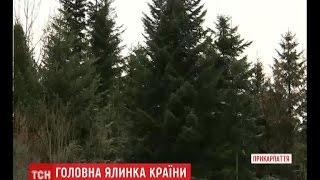 Заввишки 26 метрів та 7 метровий розмах гілок  на Прикарпатті обрали головну новорічну ялинку