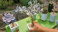 다육이 분재 만드는법, 다육식물 분재, 다유식물 묵은둥이 만들기, 다육이 나무처럼 키우기,