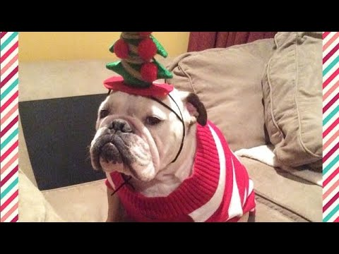 "Bulldog ""Grinch"" Has Hysterical Reaction To EVERYTHING Christmas"