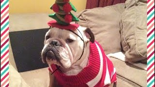"""Bulldog """"Grinch"""" Has Hysterical Reaction To EVERYTHING Christmas"""