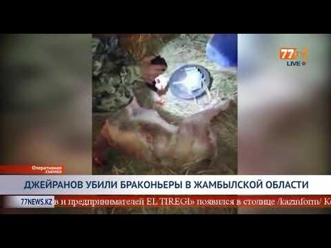 ДЖЕЙРАНОВ УБИЛИ БРАКОНЬЕРЫ В ЖАМБЫЛСКОЙ ОБЛАСТИ