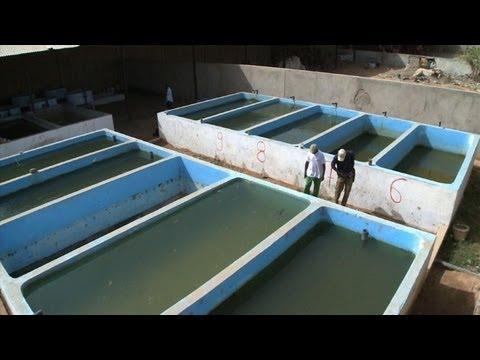 Au Nord du Sénégal, l'État se tourne vers la pisciculture