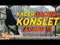 Suara Kacer Gacor Ngeplay Konslet Buka Ekor  Mp3 - Mp4 Download