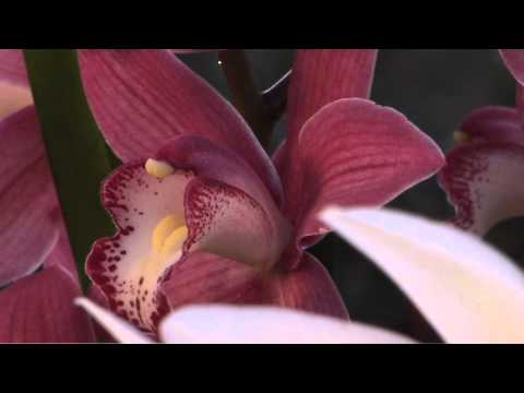 Scheda03 Cymbidium Broadband High