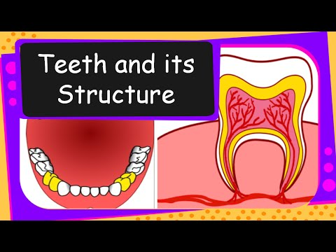 Science - Different teeth, their  functions and structure - English