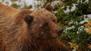 GRIZZLY BEARS ARE AWESOME! - [Living In Alaska 202]
