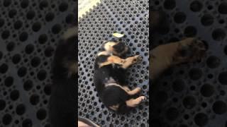 子犬がコチョコチョされるうちにスヤスヤ…眠りに落ちる(動画)