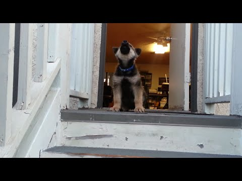 Puppy afraid to go down stairs! Howls in protest!