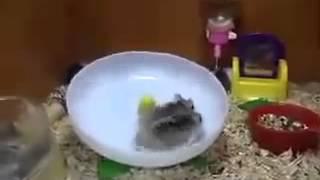 два хомяка на одном колесе, видео с канала
