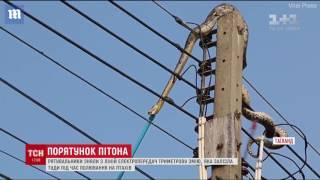 Тайські рятувальники дві години знімали величезного пітона з лінії електропередач