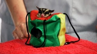 How to Treat a Sugar Glider Abscess | Sugar Gliders