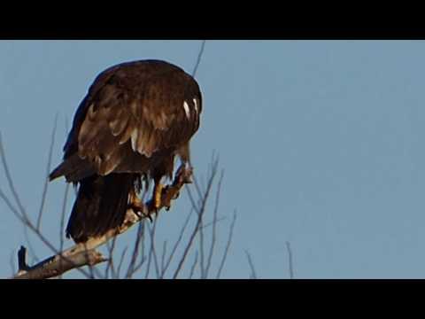 00128 Juvenile Bald Eagle at the Sacramento National Wildlife Refuge