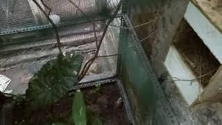 cara berternak burung decu
