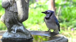 Сойки (Blue Jay) Берлоги-2017
