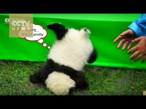 Cute Alert! Dopey panda falls off table at 2016 panda babies debut