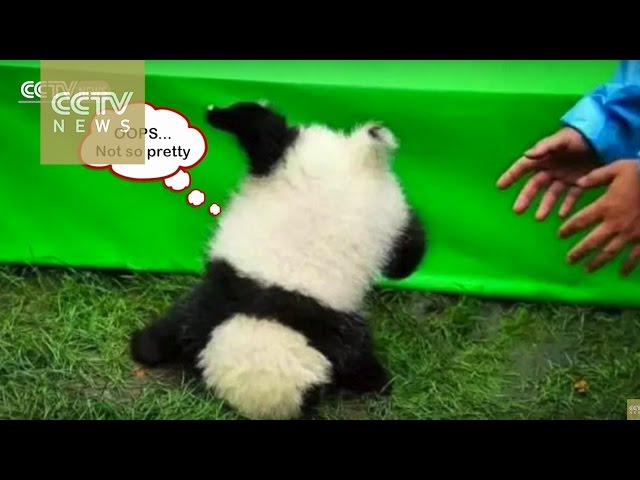 Cute Alert! Dopey panda falls off table at 2016 panda babies debut
