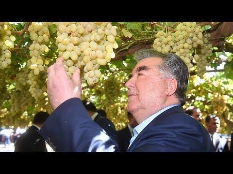 Таджикистан ждет богатый урожай винограда