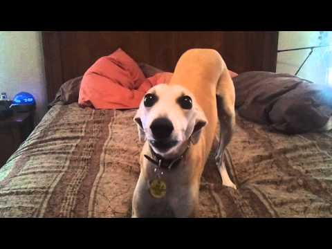 Happy Barkday - Our whippets barking the Happy Birthday Song