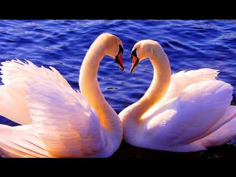 красивые картинки лебеди