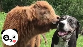 This Cute Baby Cow Acts Like a Dog | Bored Panda Animals
