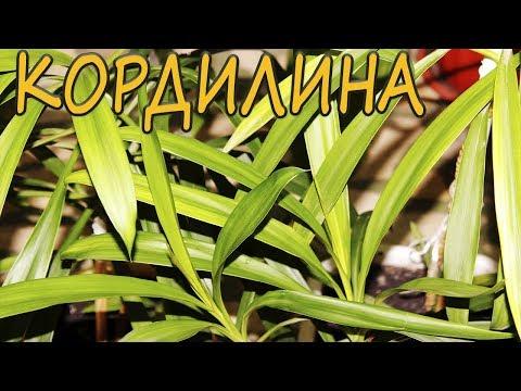 Пальма Ложные пальмы Уход, выращивание, размножение