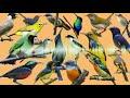 Pikat Semua Jenis Burung Kecil Ampuh Paling Di Cari Pemikat Terbaru   Mp3 - Mp4 Download