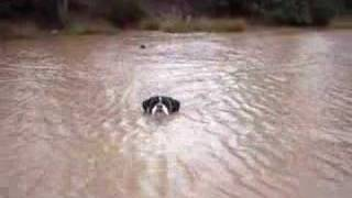 Boxer Dog Ross Swimming In Quarry Water