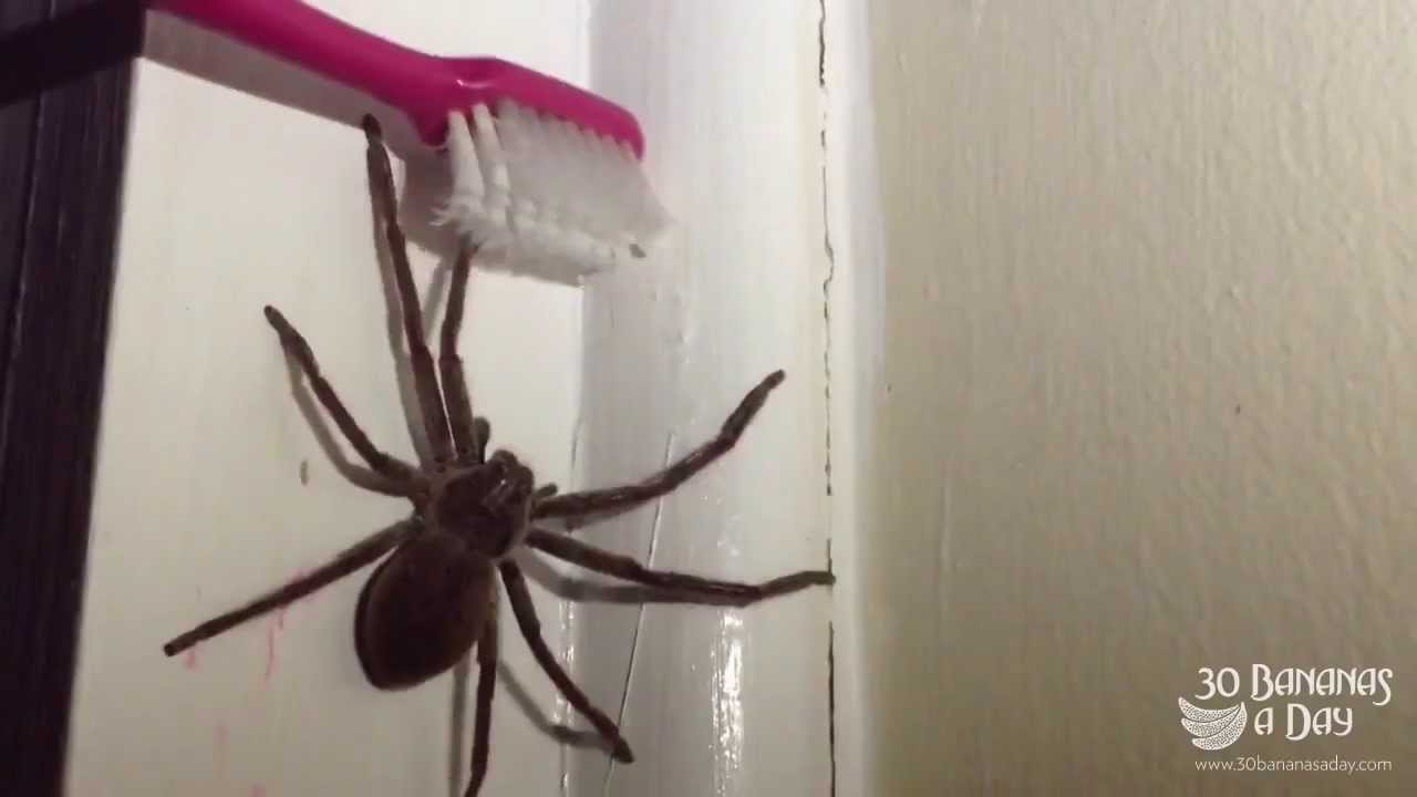 How i deal with big australian spiders in my bedroom youtube for How to keep spiders out of your bedroom