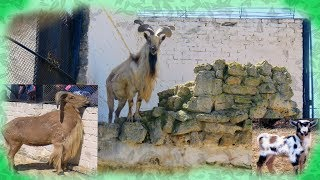 Markhor & other goats